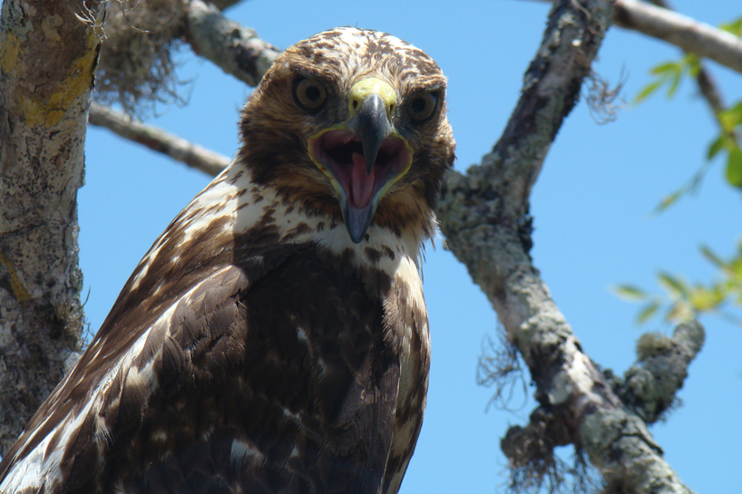 Galápagos hawks hand down lice like family heirlooms, study finds