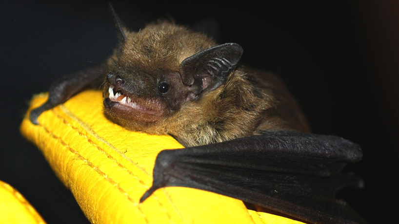 UMSL bat study featured on NPR's 'All Things Considered'