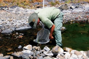 Alejandro Masís, regional director of Área de Conservación Guanacaste, collects endemic fish from one of ACG's many bodies of water. (Photo by María Marta Chavarría)