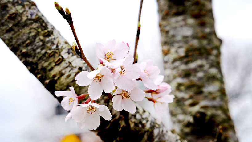 Eye on UMSL: Cherry blossoms