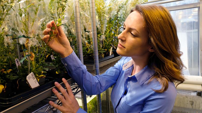 REU internship at Danforth Center has UMSL student researching oilseed lipids for biofuels