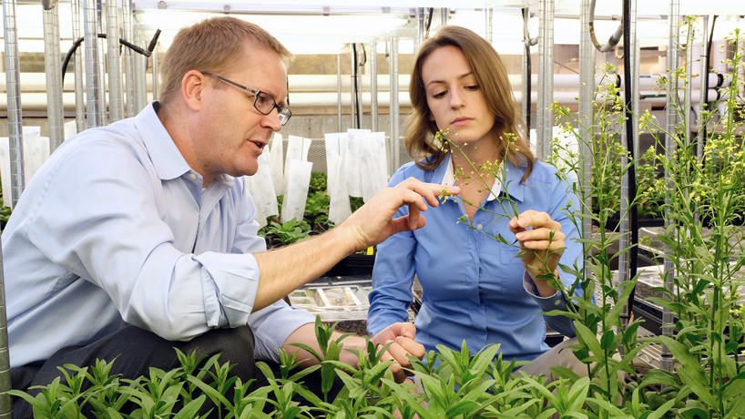 USDA Research Scientist and Danforth Center Associate Member Doug Allen (at left) teaches Lauren Jenkins about the seed pods of the <em>Camelina sativa</em>. Allen has guided and taught Jenkins during the 11-week, full-time REU internship she's had in his lab, which investigates plant metabolism.