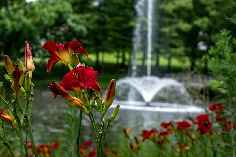 Eye on UMSL: Lakeside lilies