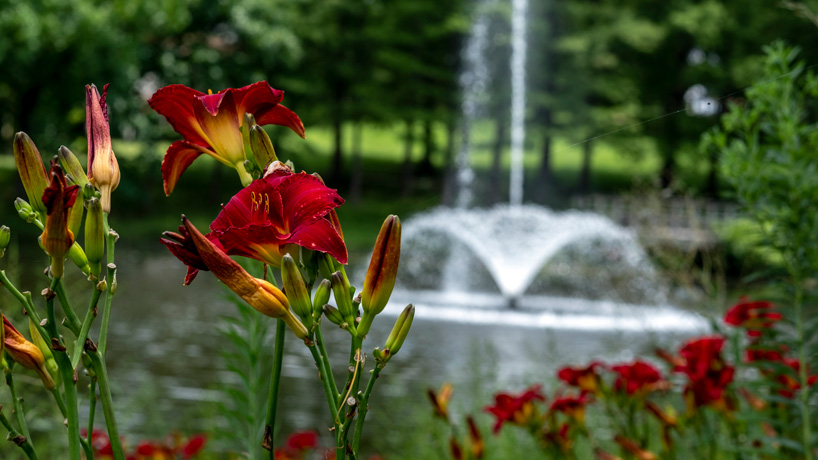 Eye on UMSL: Lakeside lilies
