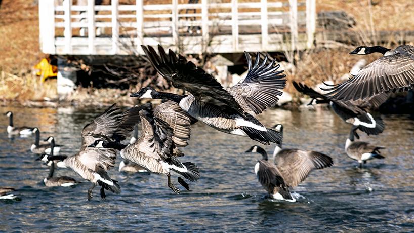 Geese land on Bugg Lake